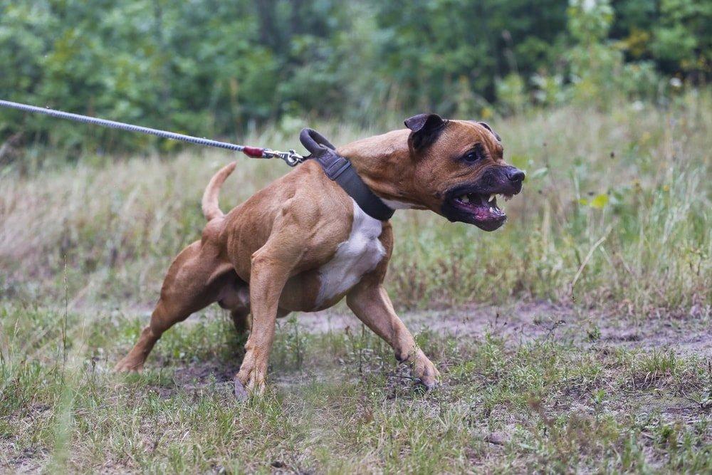 O femeie a fost mușcată de un pitbull care i-a omorât și câinele