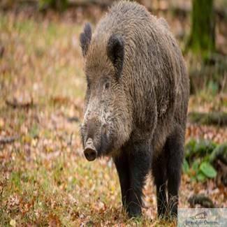 Alerta in Craiova ! Porc mistret, vazut pe strada George Enescu ..