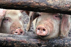 Un nou focar de Pestă porcină africană a apărut într-o gospo