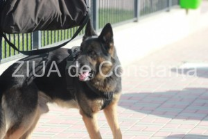 Roby, câinele antrenat la Sibiu care salvează vieți în Constanța. Acum căută copilul pierdut de 8 ani din Pecineaga