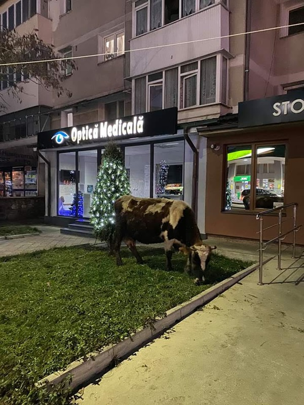 Târgu Neamț: vaci la pascut sub balcoane din centrul orașului