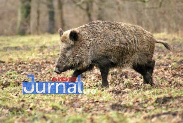 ACUM: Pesta porcină confirmată într-un fond de vânătoare aparținând Ocolului Silvic Focșani