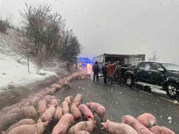 TIR plin cu porci, răsturnat pe DN 17, în Piatra Fântânele! �