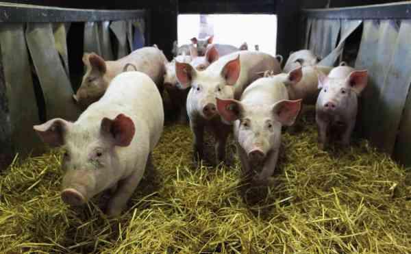 Focar de pestă porcină africană, în Beudiu! Ce măsuri au lua